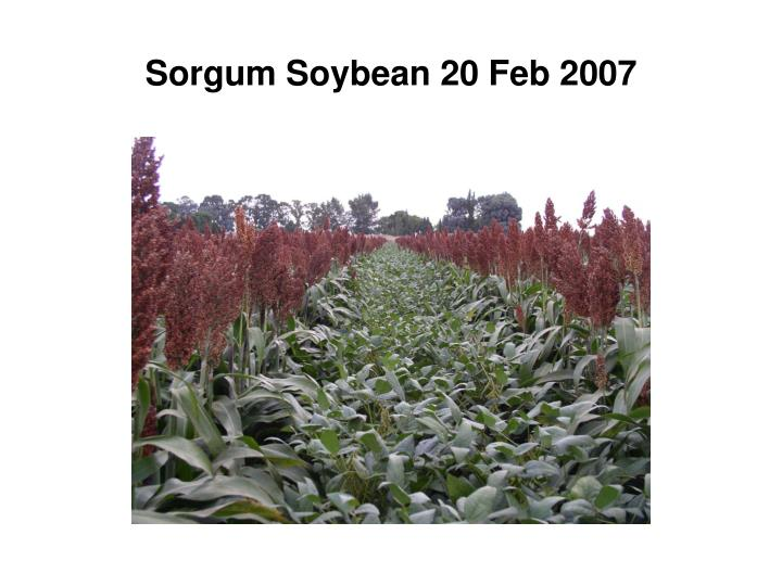 Sorgum Soybean 20 Feb 2007