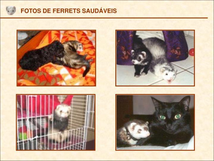 FOTOS DE FERRETS SAUDÁVEIS