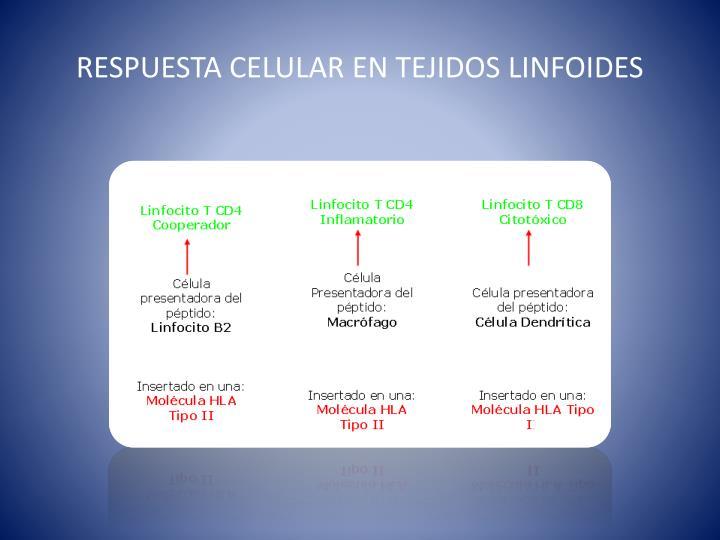 RESPUESTA CELULAR EN TEJIDOS LINFOIDES