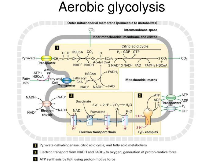 Aerobic glycolysis