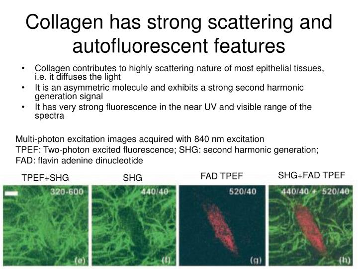 Collagen has strong scattering and autofluorescent features