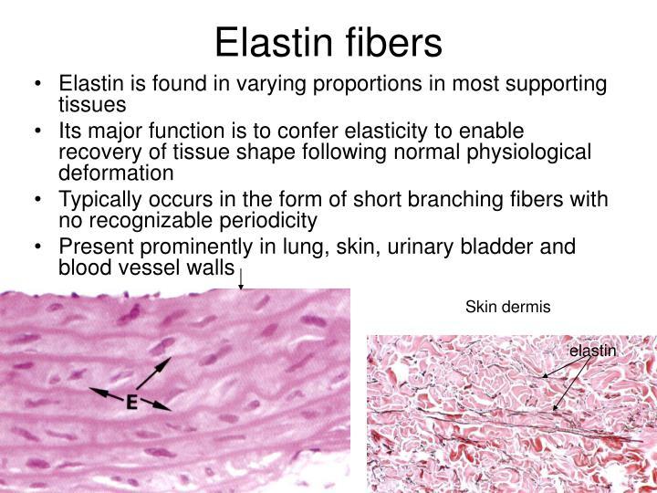 Elastin fibers