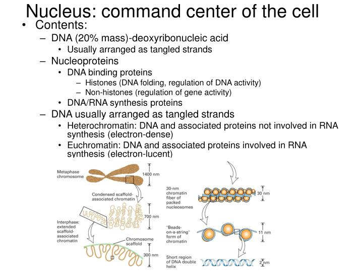 Nucleus: command center of the cell