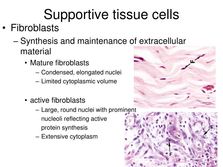 Supportive tissue cells