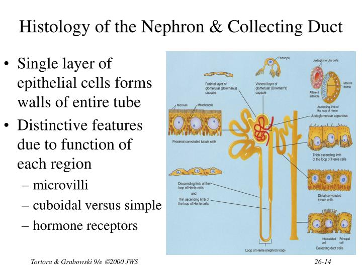 Histology of the Nephron & Collecting Duct