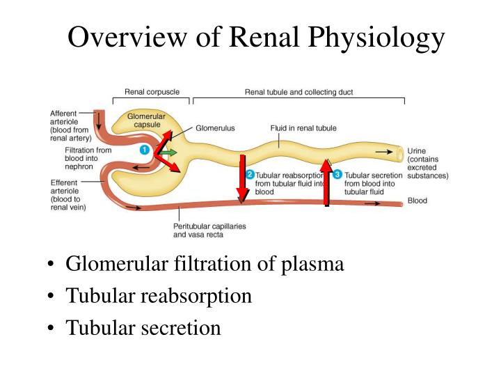 Overview of Renal Physiology