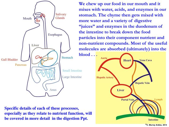 "We chew up our food in our mouth and it mixes with water, acids, and enzymes in our stomach. The chyme then gets mixed with more water and a variety of digestive ""juices"" and enzymes in the duodenum of the intestine to break down the food particles into their component nutrient and non-nutrient compounds. Most of the useful molecules are absorbed (ultimately) into the blood . . ."