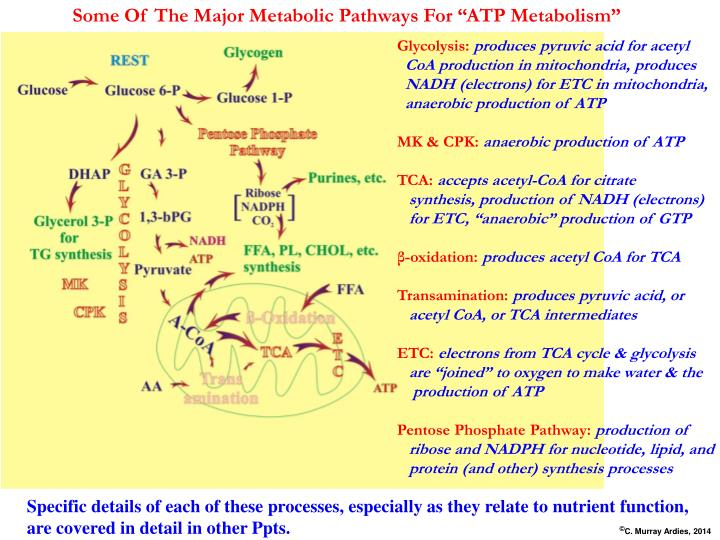 "Some Of The Major Metabolic Pathways For ""ATP Metabolism"""