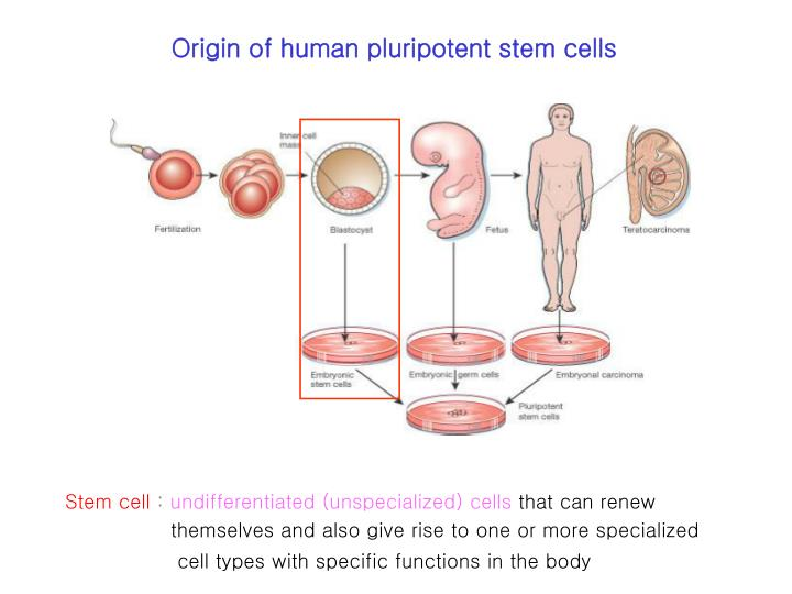 Origin of human pluripotent stem cells