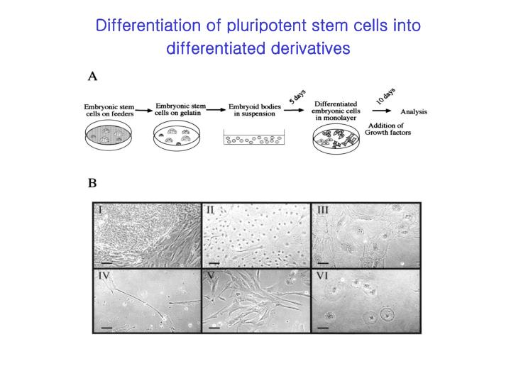 Differentiation of pluripotent stem cells into