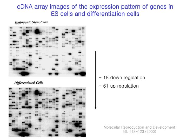 cDNA array images of the expression pattern of genes in  ES cells and differentiation cells