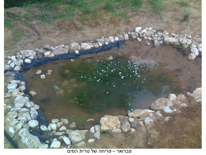 פברואר – פריחה של נורית המים