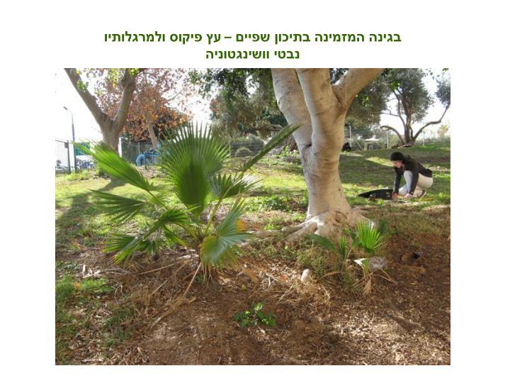 בגינה המזמינה בתיכון שפיים – עץ פיקוס ולמרגלותיו נבטי וושינגטוניה