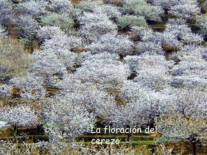 La floración del cerezo