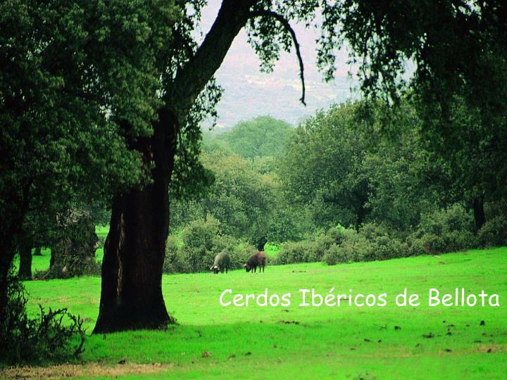 Cerdos Ibéricos de Bellota