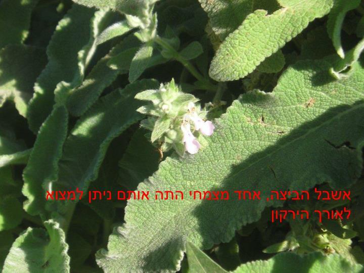 אשבל הביצה, אחד מצמחי התה אותם ניתן למצוא לאורך הירקון