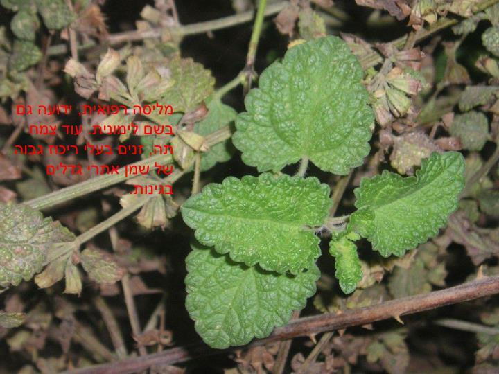 מליסה רפואית, ידועה גם בשם לימונית. עוד צמח תה, זנים בעלי ריכוז גבוה של שמן אתרי גדלים בגינות.