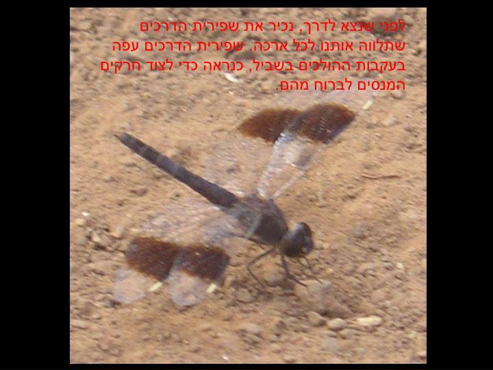 לפני שנצא לדרך, נכיר את שפירית הדרכים שתלווה אותנו לכל ארכה. שפירית הדרכים עפה בעקבות ההולכים בשביל, כנראה כדי לצוד חרקים המנסים לברוח מהם.