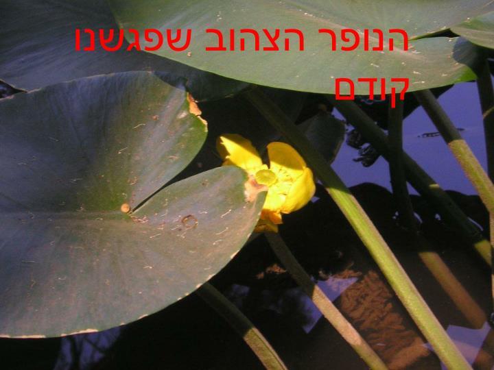 הנופר הצהוב שפגשנו קודם