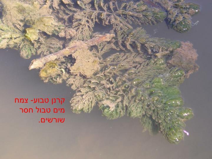 קרנן טבוע- צמח מים טבול חסר שורשים.