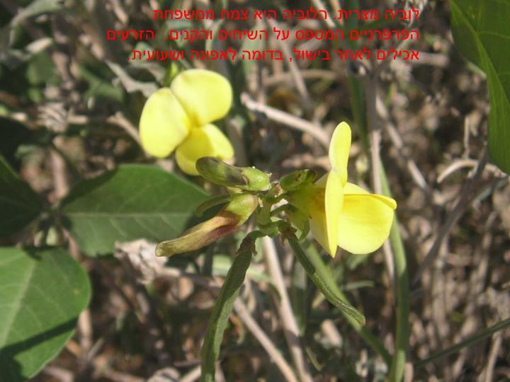 לוביה מצרית. הלוביה היא צמח ממשפחת הפרפרניים המטפס על השיחים והקנים.  הזרעים אכילים לאחר בישול, בדומה לאפונה ושעועית.