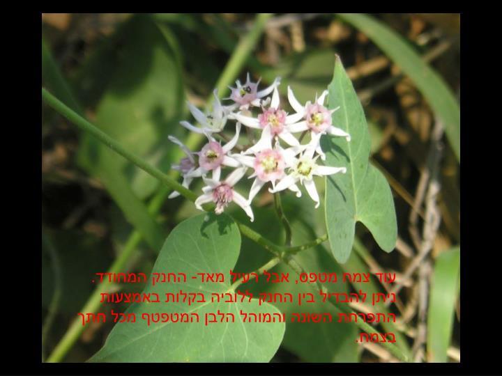 עוד צמח מטפס, אבל רעיל מאד- החנק המחודד. ניתן להבדיל בין החנק ללוביה בקלות באמצעות התפרחת השונה והמוהל הלבן המטפטף מכל חתך בצמח.