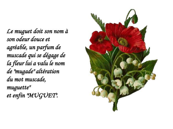 """Le muguet doit son nom à son odeur douce et agréable, un parfum de muscade qui se dégage de la fleur lui a valu le nom de """"mugade"""" altération"""