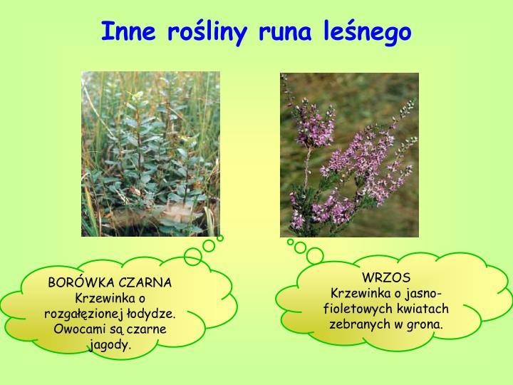 Inne rośliny runa leśnego