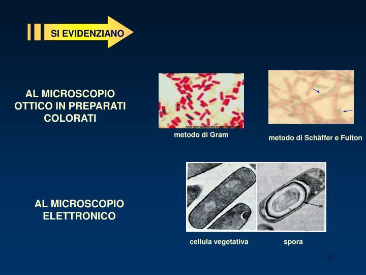 AL MICROSCOPIO OTTICO IN PREPARATI COLORATI