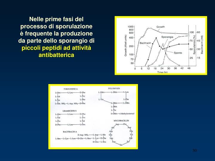 Nelle prime fasi del processo di sporulazione è frequente la produzione da parte dello sporangio di