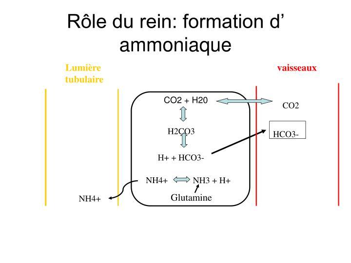 Rôle du rein: formation d' ammoniaque