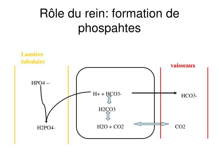 Rôle du rein: formation de phospahtes
