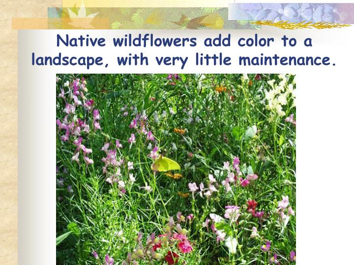 Native wildflowers add color to a landscape, with very little maintenance.