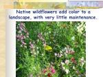 native wildflowers add color to a landscape with very little maintenance