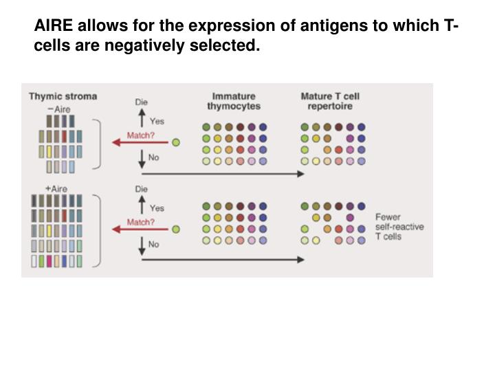 AIRE allows for the expression of antigens to which T-cells are negatively selected.