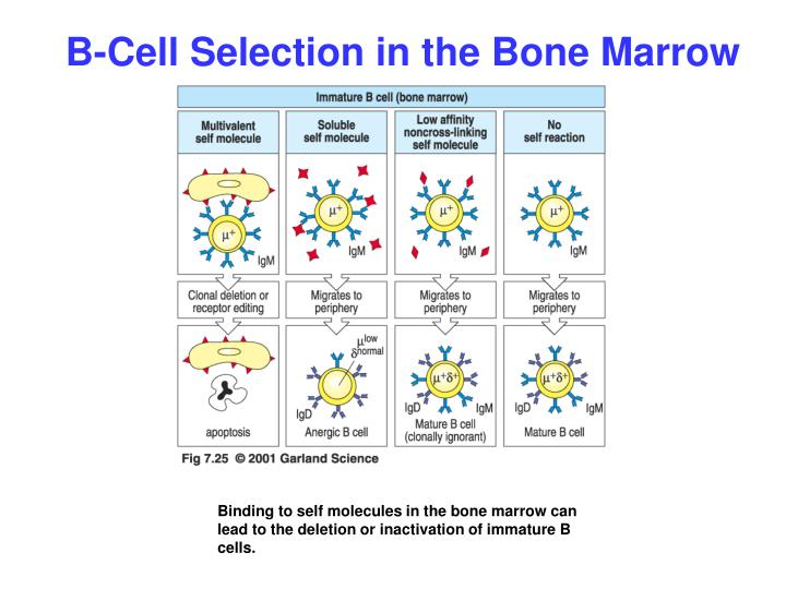 B-Cell Selection in the Bone Marrow