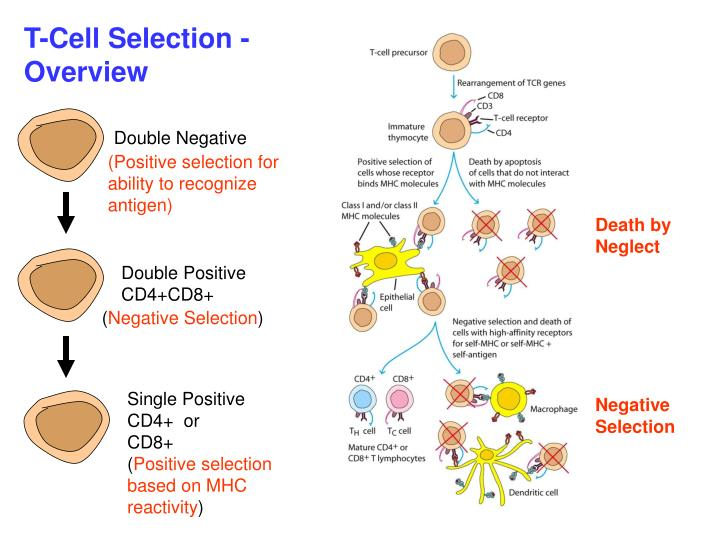 T-Cell Selection - Overview
