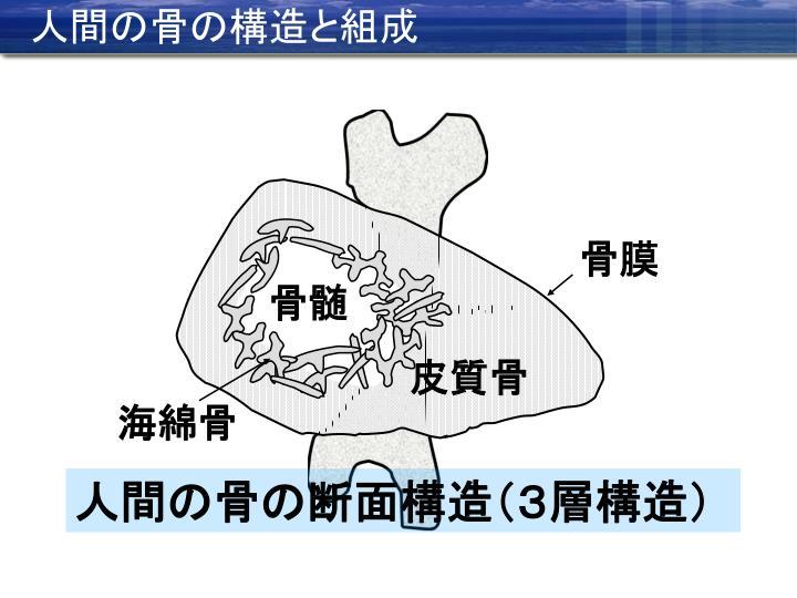 人間の骨の構造と組成