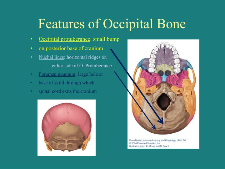 Features of Occipital Bone
