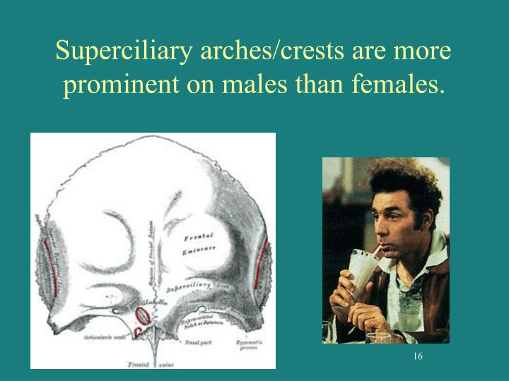 Superciliary arches/crests are more prominent on males than females.