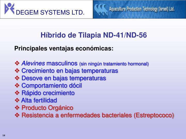 Híbrido de Tilapia ND-41/ND-56