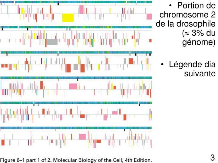 Portion de chromosome 2 de la drosophile