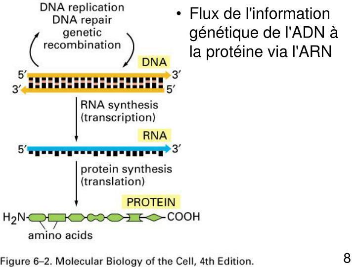 Flux de l'information génétique de l'ADN à la protéine via l'ARN
