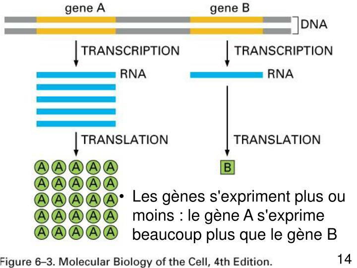 Les gènes s'expriment plus ou moins : le gène A s'exprime beaucoup plus que le gène B