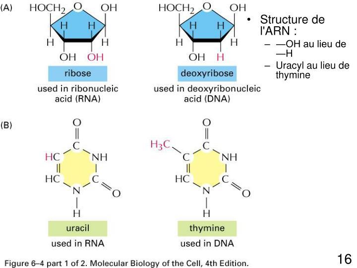 Structure de l'ARN :