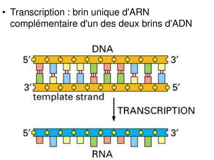 Transcription : brin unique d'ARN complémentaire d'un des deux brins d'ADN