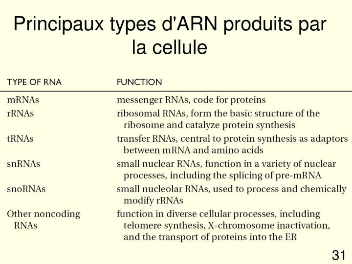 Principaux types d'ARN produits par la cellule