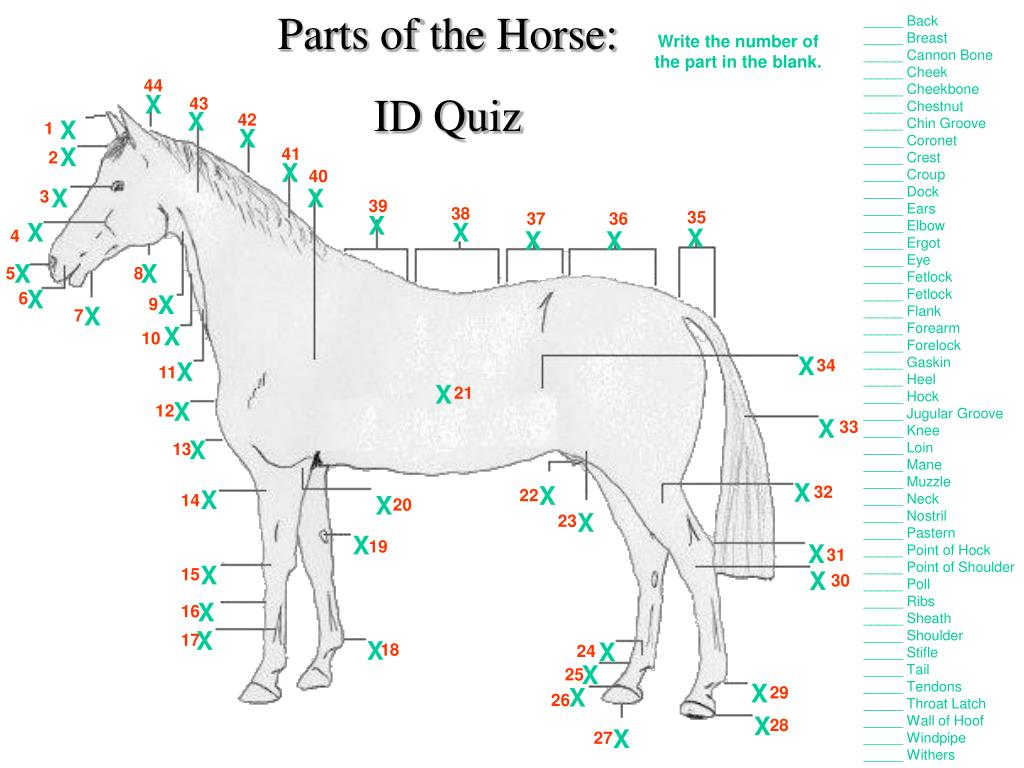Parts of the Horse: