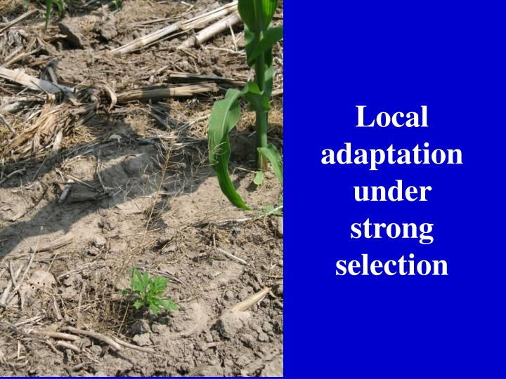 Local adaptation under strong selection