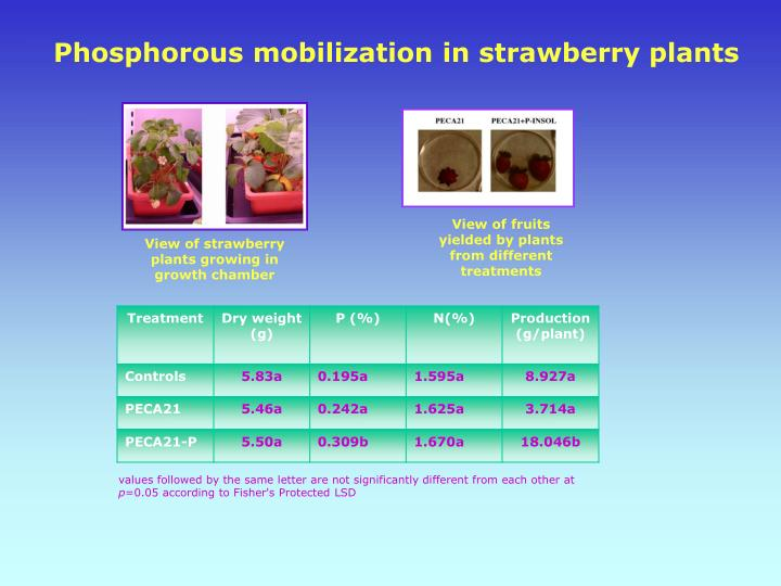Phosphorous mobilization in strawberry plants